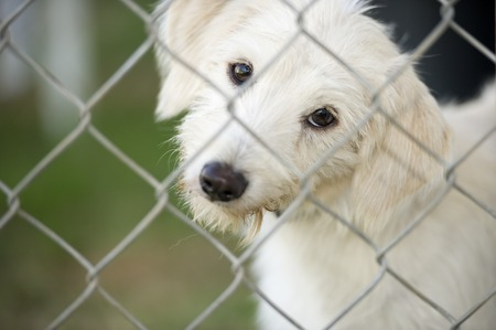 curiously: A cute white puppy dog is tilting his head curiously and looking through a chain link fence.