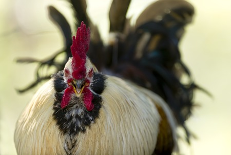 squawk: Rooster with crest is squawking and looking agry with blurred tail feathers in the background. Stock Photo