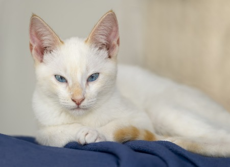 curiously: White kitten with blue is is staring intensely and curiously while sitting on a blue blanket.