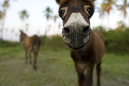 Baby donkey nose closeup with mother donkey with mother donkey and palm trees in the back drop.