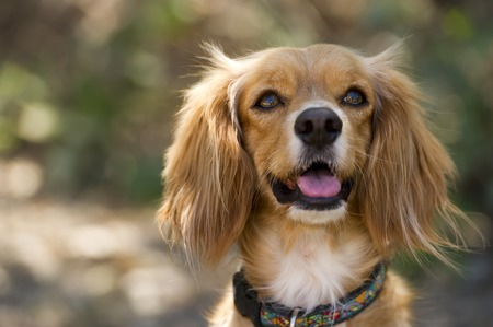curiously: A Cocker Spaniel cross dog with fluffy ears is looking up curiously