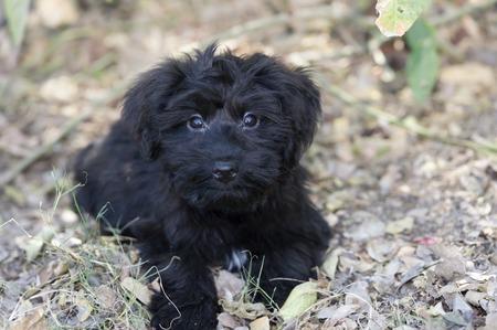 puppy love: Perrito negro lindo y adorable tiene grandes amor adolescente ojos en un primer plano al aire libre ..