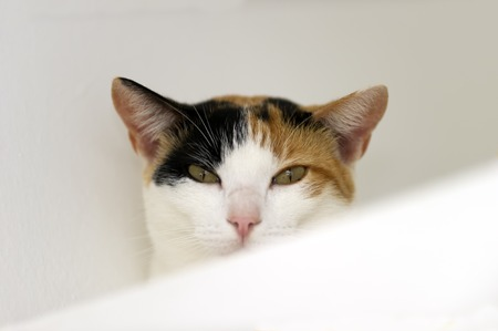 calico whiskers: A Calico cat with green eyes is staring against a white background.