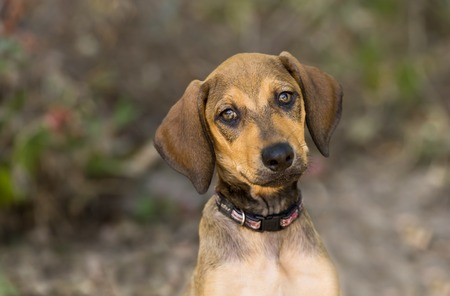 cute puppy: Cute Puppy Dog is outside looking curious Stock Photo