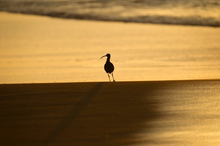 Sandpiper silhouette on beach at sunrise.