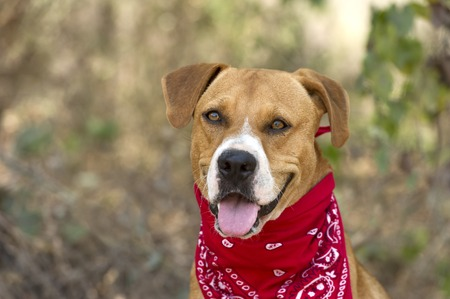 red bandana: Boxer dog is happy with red bandana outside