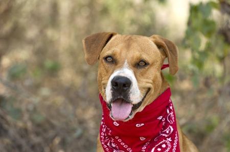 perro boxer: Perro del boxeador que está feliz con pañuelo rojo fuera Foto de archivo