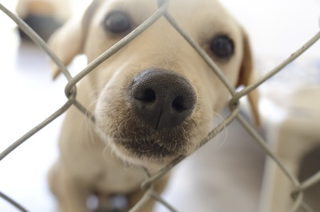 poking: A sad cute puppy is poking his nose through a fence wanting someone to take him home.
