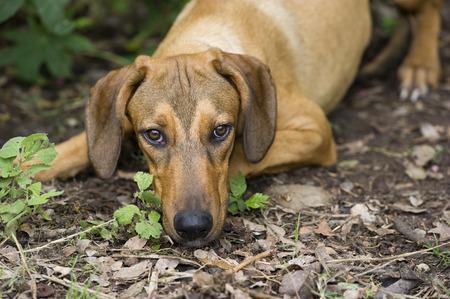 perro triste: Perro triste est� mirando hacia arriba que se acuesta al aire libre.