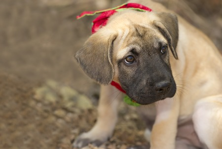 closeup puppy: A sad puppy is sitting outdoors with a pout on his face. Stock Photo