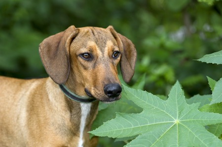 hound dog: Hound dog is looking outdoors among the green forsest leaves.