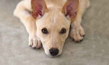 straight up: Cute puppy with big eyes resting his head on paws on the ground while looking straight up with a sincere wistful look in his eyes.