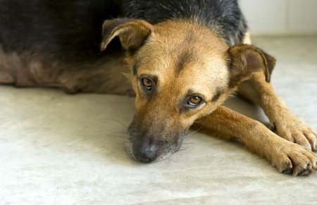 forlorn: Sad dog is a very sad eyed dog looking lost lonely and abandoned. Stock Photo