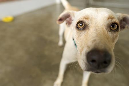 Funny dog ??est un petit chien blanc mignon avec des yeux jaunes regardant curieusement pour voir ce que le diable se passe. Banque d'images - 43768675