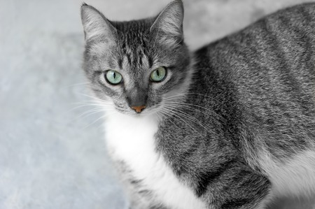 eyes looking up: Cat eyes is a lovely Tabby cat with vibrant beautiful green eyes looking up at you.
