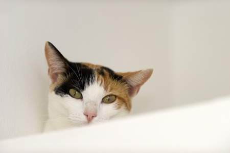 calico whiskers: Curious cat eyes is a Calico cat with jade green eyes full of curiosity looking right at you. Stock Photo