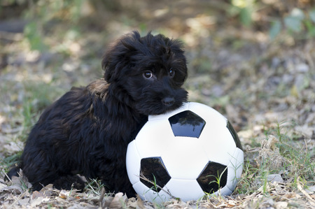 shyness: Cute puppy shy is a black fluffy adorable puppy with a ball showing all the shyness and sweetness in the world.