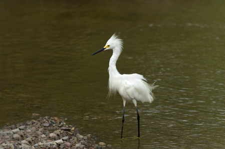 White Heron is a Heron standing in water ruffling his feathers and plume.