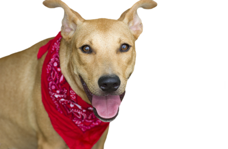 red bandana: Happy dog isolated is a big happy dog with a red bandana looking right at you