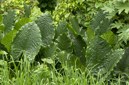 jungle leaves: Junge leaves are giant green fan like leaves in the middle of the jungle.