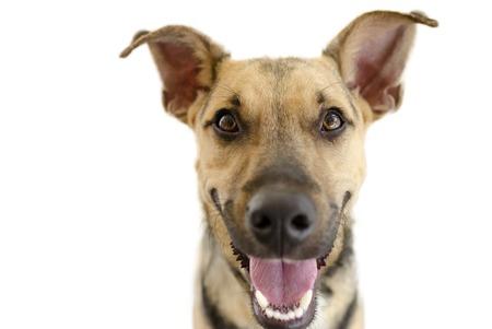 白で隔離幸せな犬は彼の顔に大きな大きな幸せな笑顔とかわいい面白い熱狂的なジャーマン シェパードです。