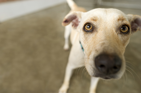 Shelter dog adoption is a curious closeup of one of the residents wondering will anyone take him home today.