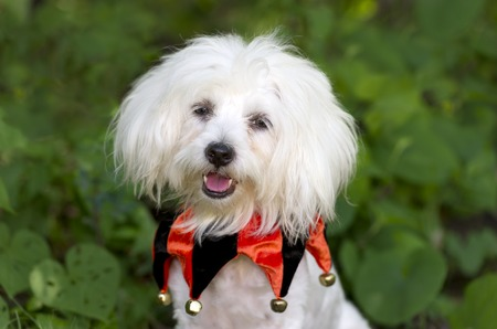 dog in costume: Halloween dog costume is a funny looking cute white dog all dressed up for trick or treats. Stock Photo