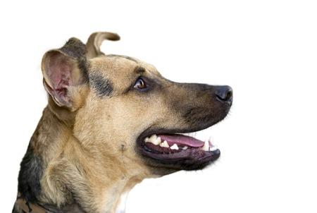 boca: Hapy perro aislado en blanco es un perfil entusiasta divertido lindo del pastor alemán que mira muy atento con la boca abierta y lista para lo que se viene ..