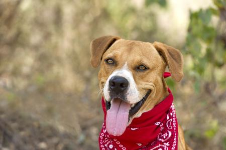 boxer dog: Perro feliz es un hermoso perro boxer lengua de color rosa brillante y una sonrisa feliz entusiasta. Foto de archivo