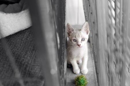 Shelter animal is a cute white kitten  in an animal shelter looking up wondering if somone will adopt him today.