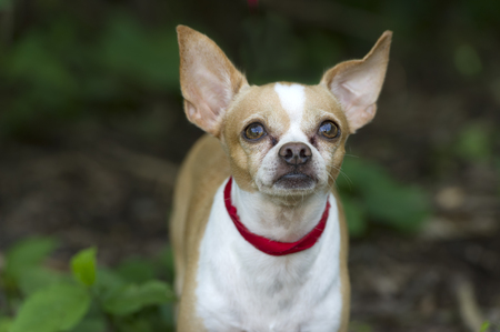 curiously: Cute dog looking up is an adorable Chihuahua curiously looking up outdoors. Stock Photo