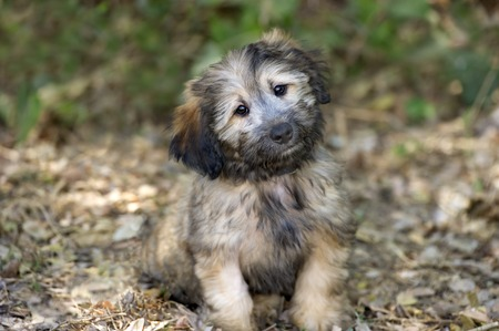 eyes: Cute dog is a beautiful fluffy puppy dog looking more as cute and adorable as a puppy dog can be. Stock Photo