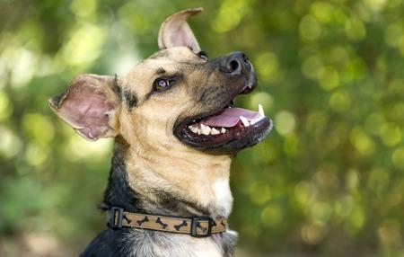 Chien: chien heureux est un gros plan sourire heureux d'un chien de berger allemand ressemblant à rire tout en jouant à l'extérieur. en riant Banque d'images