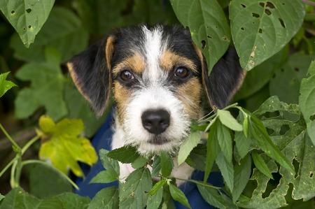 かわいい子犬が林葉の後ろから突き出て彼の顔に大きな瞳のかわいい子犬です。 写真素材 - 48754688
