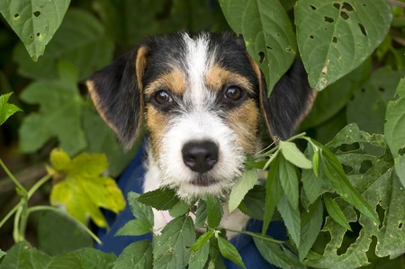 closeup puppy: Puppy cute is a cute puppy with big brown eyes with his face sticking out from behind the forest leaves. Stock Photo