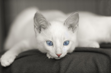 curiously: Curious cat is a cute white kitten with vibrant blue eyes and a pink nose staring curiously in this two tone image.