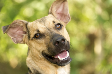 German Shepherd is a close up face shot of a happy German Shpherd outdoors.