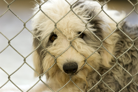 sheep dog: Shelter dog a sad looking sheep dog peering out from behind a chainlink fence at an animal shelter. Stock Photo
