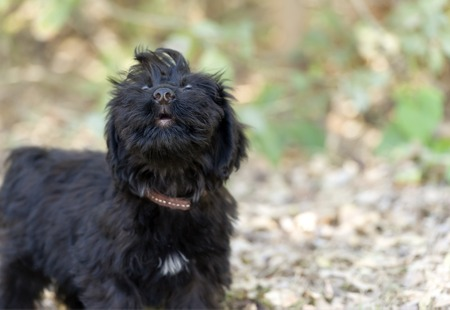 howl: Howling dog is a cute fluffy puppy letting out a great big adorable howl outdoors.