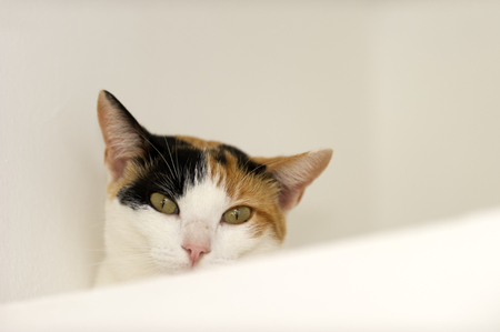 calico whiskers: Calico cat is a cute Calico cat with nice green eyes looking straight at the camera against a white background.