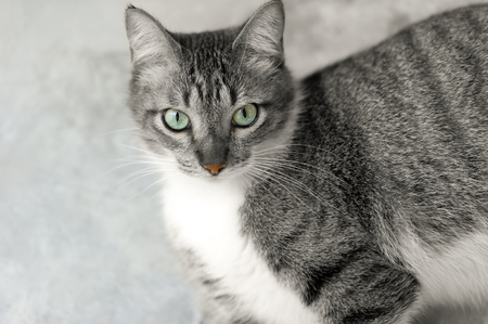ojos verdes: Cat eyesis a Tabby cat with bright green eyes and and a colorful red nose in this two tone image.