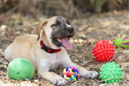Dog toys is a cute happy puppy is outdoors surrounded by his toys. Stockfoto