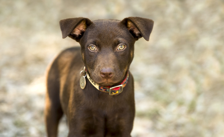 Most Inspiring Fluffy Brown Adorable Dog - 50100903-cute-dog-eyes-is-a-brown-healthy-looking-puppy-dog-looking-up-with-curiosity-  Collection_20452  .jpg?ver\u003d6