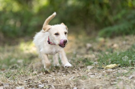 dog ears: Puppy running is a cute bouncy fluffy beige puppy playfully running and jumping outdoors. Stock Photo