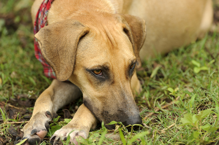 sad dog: Sad dog is a brown dog outdoors resting his head on the ground looking sad.