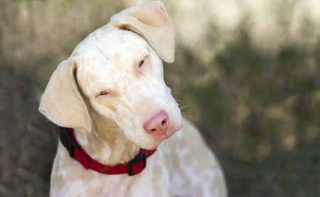 dalmation: Curious dog is closeup a white dalmation dog looking at you with curiosity. Stock Photo