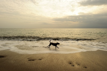fetching: Dog beach is a black dog running along the sandy beach with a bright cloudy sky in the background.
