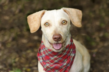 big eyes: Happy dog is a white happy looking dog with cute floppy ears and his adorable pink tongue and glowing brown eyes giving a great big smile to you. Stock Photo
