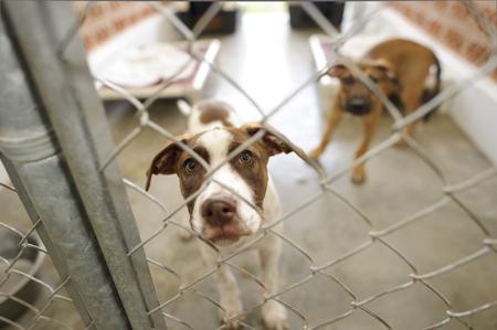避難所の犬は動物の避難所の美しい犬はフェンス越しに今日家に連れて行く誰も起こっているかどうか疑問に思っています。