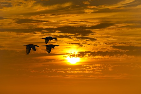 migrating: Bird migration is three birds flying during the migrating season. Stock Photo